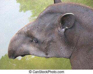 Brazilian tapir - Closeup of the head of a Brazilian tapir...
