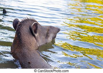 Brazilian Tapir Swimming
