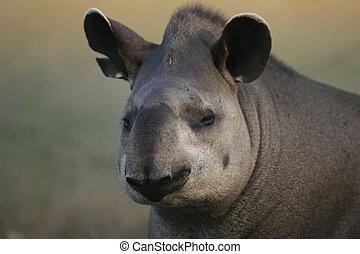 Brazilian tapir, Tapirus terrestris,