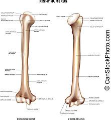 brazo, humerus-, bone., superior