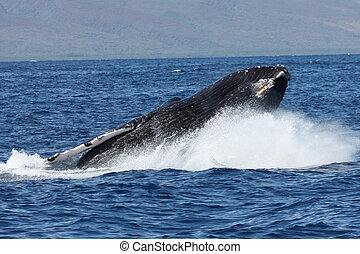 Breach landing - Northern Pacific Humpback whale landing a...