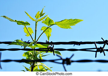 breach of prison - leaf and old barbed wire