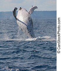 Breaching whale - A humpback whale flings itself into the ...