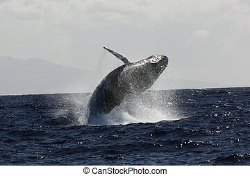 Adult Northern Pacific Humpback whale breaching