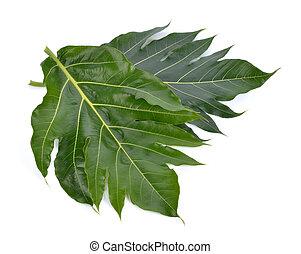 Breadfruit leaf on white background