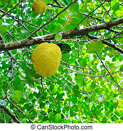 breadfruit on a background of green leaves