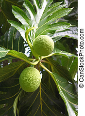 Tropical fruit - Breadfruit on tree,Tropical fruit native to...