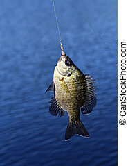 Bream is Hooked - Fist sized bream hangs from a fishing line...