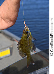Bream Still Dripping Lake Water - Woman holds up a small ...