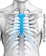 Breast bone - 3d rendered illustration - breast bone