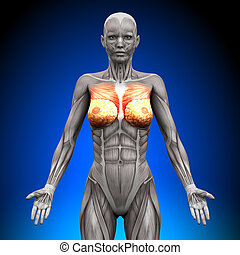 Breasts / Chest / Pectoralis Major / Pectoralis Minor -...