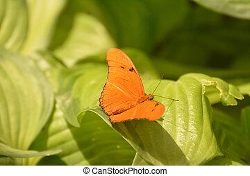Breathtaking Orange Julia Butterfly sitting on leaves - ...