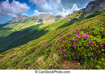 Breathtaking pink rhododendron flowers in the mountains, Bucegi, Carpathians, Romania