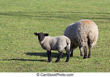 brebis, et, agneau, 2