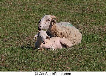 brebis, et, agneau