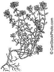 breckland, planta, Tomillo,  thyme),  (wild