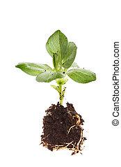brede boon, kiemplant