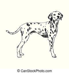 breed., dalmatien, chien