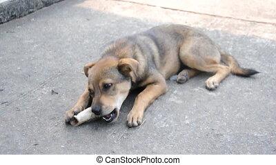 Breed dog Thai with big appetite gnaws big bone. Close-up.