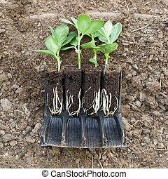 breed, terrein, boon, wortels, planten, seedlings, jonge, groente