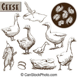 breeding geese. set of vector sketches. Hand drawn...
