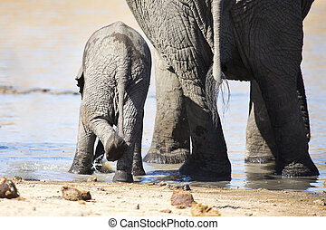 Breeding herd of elephant drinking water at small pond