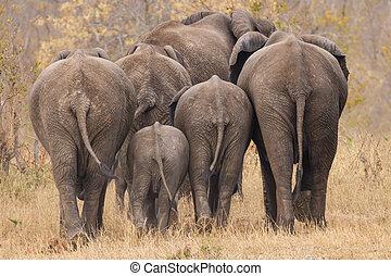 Breeding herd of elephant walking away int the trees -...