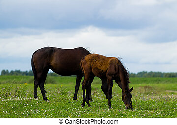 Breeding horse with a foal in the pasture