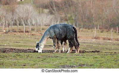 Breeding of alpacas in Tuscany.