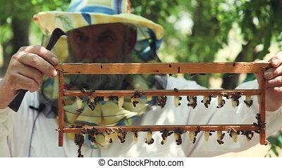 Breeding queen bees. Caps of wax for producing the bee queen.
