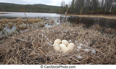 foreground nest of Swan with huge eggs. Taiga river. whistle of wings and voices swans.