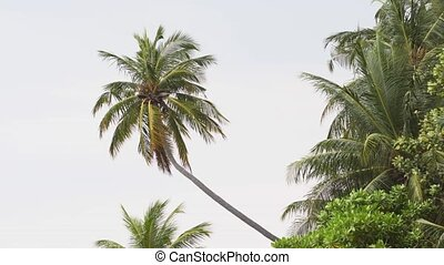 Breeze Stirring Tropical Palm Trees in the Maldives - Leaves...