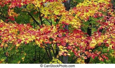 Breezy Fall Color Loop - Autumn leaves of vivid red, orange,...
