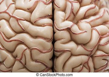 brein model, menselijk