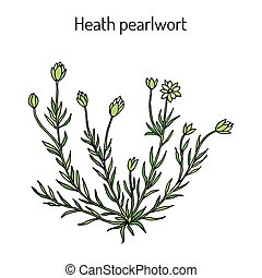 brejo, medicinal, pearlwor, subulata, ou, sagina, planta, ...