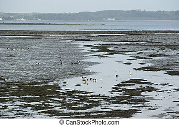 Flock of Brent or Barnacle geese (Branta bernicla) in their winter feeding grounds on the shore of Strangford Lough, County Down, Northern Ireland