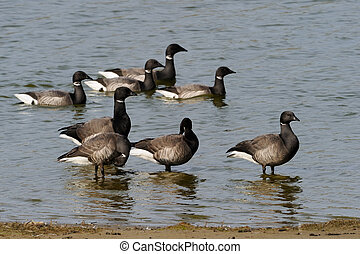Brent Goose standing in water and Goose swimming behind.