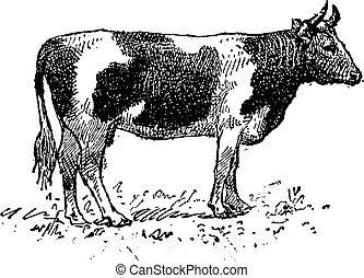 Breton cattle breed, vintage engraving.