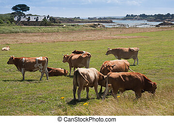 Breton cows grazing near the sea on the beautiful isle of Brehat in France