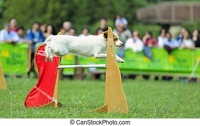 Breton Spaniel in agility test in fence jumping obstacle