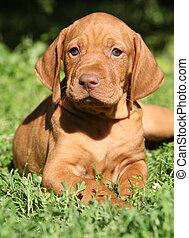 breve -haired, húngaro, señalar, perro, perrito, acostado