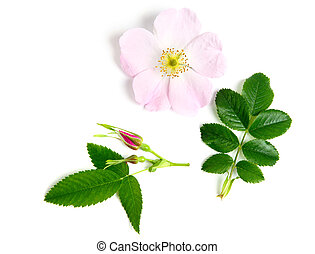 Briar - An image of a fresh flower of briar
