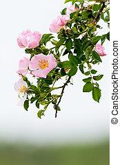 Briar - Beautiful blooming wild rose bush