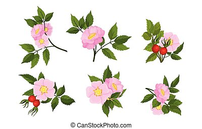 Briar Blossomed Flowers with Rosehips Isolated on White ...