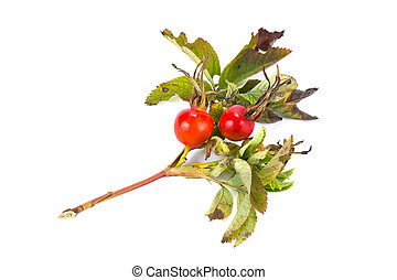 Briar - Branch of plant a briar with a berry is isolated on...