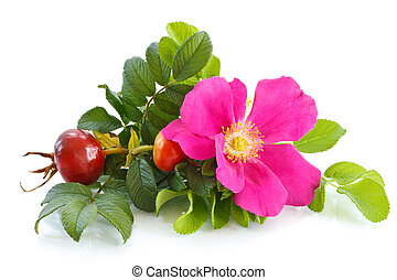 briar - fruit and flower wild rose on a white background