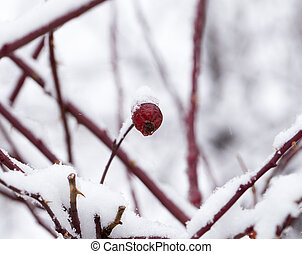 Briar in the snow. macro