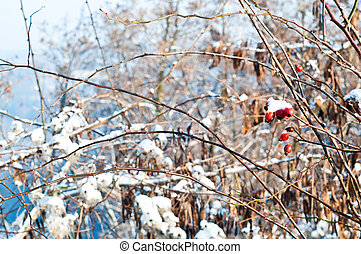 Briar in winter