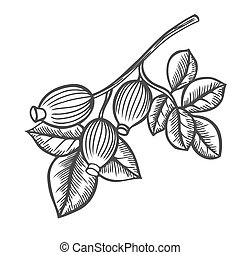 Briar rose engraved illustration - dog-rose, sketch vintage ...