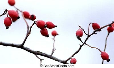 Briar, wild rose hip shrub in natur